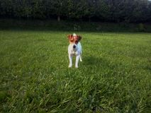Een hond op het gebied Royalty-vrije Stock Foto