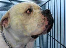 Een hond in een ras van de kooi wit Amerikaans buldog royalty-vrije stock foto
