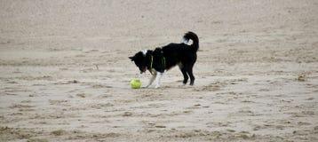 Een hond speelt op het strand stock foto