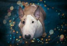 Een hond stemt in met het nieuwe jaar Stock Afbeelding