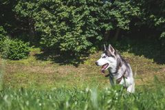Een hond van Alaska stock afbeeldingen