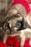De hond van de overlapping Stock Foto's