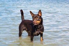 Een hond van de Australische spelen van het kelpieras op zand en in een rivier Stock Fotografie