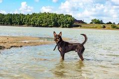 Een hond van de Australische spelen van het kelpieras op zand en in een rivier Royalty-vrije Stock Afbeelding