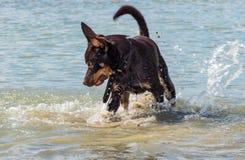 Een hond van de Australische spelen van het kelpieras op zand en in een rivier Royalty-vrije Stock Afbeeldingen