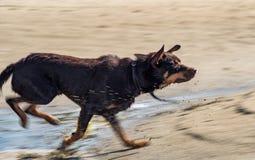 Een hond van de Australische spelen van het kelpieras op zand en in een rivier Stock Foto's