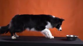 Een hond wacht op het bevel beginnen te eten, langzame motie stock video