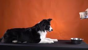 Een hond wacht op zijn voedsel en begint op bevel te eten stock videobeelden