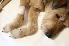Een hond is ziek Stock Foto's