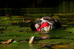Een hond zwemt met haar stuk speelgoed Stock Afbeelding