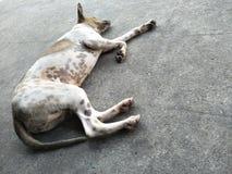 een hondslaap op cementvloer Stock Afbeelding