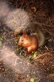 Een hongerige eekhoorn Stock Afbeeldingen