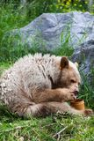 Een hongerige Kermode draagt etend honing Royalty-vrije Stock Foto's