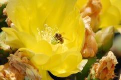 Een honingbij die een bloeiende cactus oogsten Royalty-vrije Stock Foto
