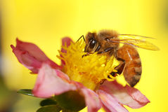 Een honingbij die nectar verzamelen Royalty-vrije Stock Foto