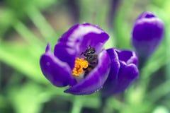 Een honingbij likt stuifmeel van zijn voeten stock foto's