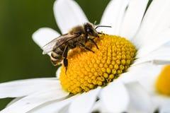 Een honingbij op een de zomerbloem stock afbeeldingen
