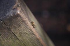 Een honingbij op een boom - de winter Royalty-vrije Stock Afbeelding