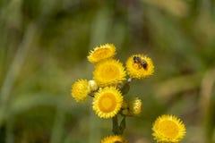 Een honingbij op een gele bloem royalty-vrije stock afbeelding