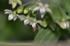 Een honingbij zuigende honing van een bengelende bloem stock afbeelding