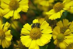 Een honingbijzitting op een geel madeliefje stock afbeeldingen