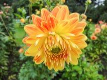 Een hoofd van dahlia in de tuin in de zomer zonnige dag stock afbeeldingen