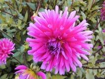 Een hoofd van dahlia in de tuin in de zomer zonnige dag royalty-vrije stock afbeeldingen
