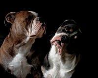 Een hoofdportret van twee Buldoggen stock foto