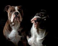 Een hoofdportret van twee Buldoggen royalty-vrije stock foto