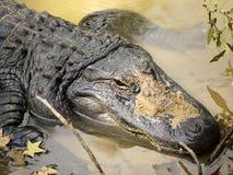 Een hoofdschot van een Amerikaanse Alligator Royalty-vrije Stock Foto