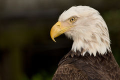 Kaal Eagle Stock Afbeelding