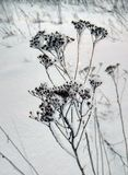 Een hoog droog gras in de vorst bevindt zich op een snow-covered weide Royalty-vrije Stock Fotografie