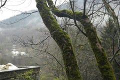 Een hoogland bemoste boom stock foto's