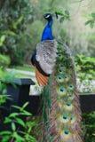 Een hoogtepunt - mening van een schitterende pauw met kleurrijke vaders stock afbeeldingen
