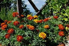 Een hoogtepunt van de bloempot van Tageten stock afbeeldingen