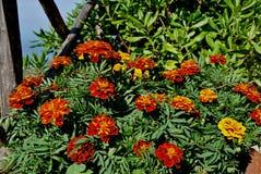 Een hoogtepunt van de bloempot van Tageten stock foto