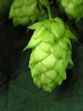 Een hop-kegel Stock Afbeelding