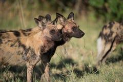Een horizontaal, kleurenbeeld van een pak Afrikaanse wilde honden, Lycao Royalty-vrije Stock Foto's