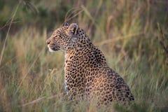 Een horizontale, kleurenfoto van een luipaard, Panthera-pardus, s Stock Foto