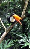 Een hornbill Royalty-vrije Stock Afbeeldingen
