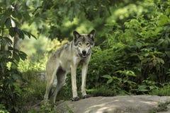 Een Houtwolf in een bos Stock Afbeeldingen