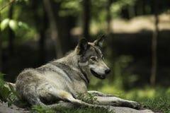Een Houtwolf in een bos Stock Fotografie