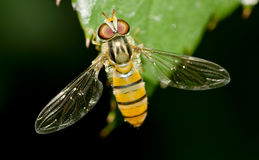 Een Hoverfly Stock Foto