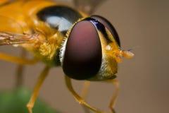 Een hoverfly Stock Afbeeldingen
