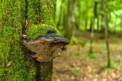 Een huba met mos op de boomstam van een boom wordt overwoekerd die royalty-vrije stock foto's