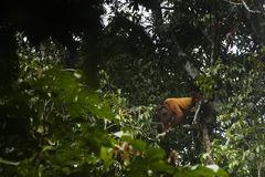 Een Huileraap in een boom stock foto's