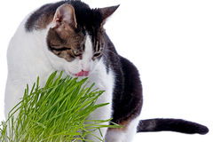 Een huisdierenkat die van vers gras geniet. Stock Foto's