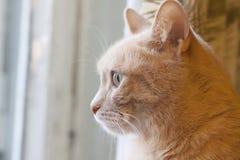 Een huisdierenkat kijkt uit het venster royalty-vrije stock foto's
