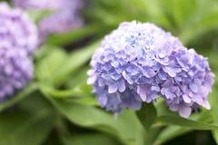 Een hydrangea hortensiabloem is een gedicht stock afbeeldingen