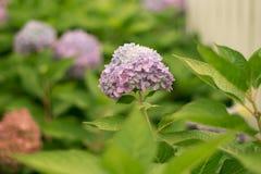 Een hydrangea hortensiabloem is een gedicht royalty-vrije stock foto's